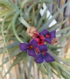 Tillandsia aeranthos v. grisea