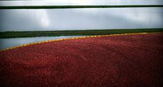 Cranberry Bogs are found on Cape Cod in MA. September is the time to harvest the bright red berries!
