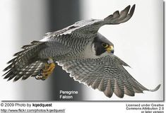 San Francisco resident peregrine falcons are a sign of spring. That means that it's almost time for the worker bees of the FiDi to hear shrieking sounds from 300 feet above, or catch a glimpse of a Peregrine Falcon diving from the skies at up to 275 mph. Falcon Tattoo, Peregrine Falcon, Bird Drawings, Birds Of Prey, Art Images, Fascinator, Owl, Animals, Hawks