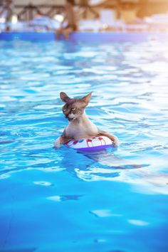 Sphynx in a pool
