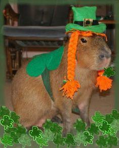 Irish capybara