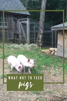 Pigs are notoriously known for eating. But knowing what not to feed your pig may be more important in keeping them safe. | It's My Sustainablelife @itsmysustainablelife #whatnottofeedyourpigs #whattofeedpigs #raisingpigs #raisingpigsformeat #raisingpigsforbeginners #raisingpigsforpets #raisingpigsforprofit #itsmysustainablelife Raising Farm Animals, Raising Ducks, Raising Chickens, Meat Farms, Pig Farming, Chickens Backyard, Livestock, Farm Life, Homesteading