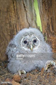 Stock Photo : Finland, Kuhmo area, Kajaani, Ural owl Strix uralensis) chick in nest