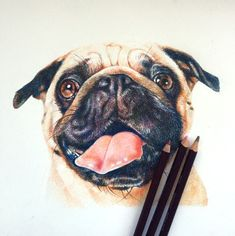 Pug portrait in coloured pencil