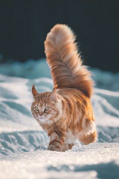 Will Ginger's tail ever stop growing? - your daily dose of funny cats - cute kittens - pet memes - pets in clothes - kitty breeds - sweet animal pictures - perfect photos for cat moms Pretty Cats, Beautiful Cats, Animals Beautiful, Cute Animals, I Love Cats, Crazy Cats, Cool Cats, Weird Cats, Warrior Cats