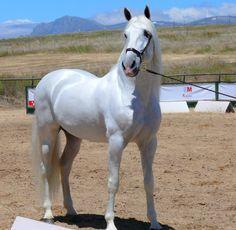 Sevillano, caballo de raza española