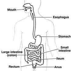 Drawing of the digestive tract showing the mouth; esophagus; stomach; small intestine; large intestine, also called colon; ileum; rectum; and anus. Caption:  The intestines, or bowel, include the small intestine and the large intestine, also called the colon.