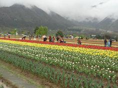 indira-gandhi-tulip-garden.jpg (550×413)