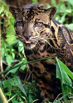 The Sunda clouded leopard is a medium-sized wild cat found in Borneo and Sumatra.  Beautiful!