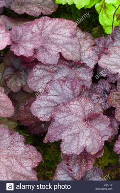 Heuchera 'Beaujolais' leaves with dew drops water rain, red purple foliage perennial plant for shade garden accent