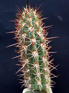 Echinopsis skottsbergii