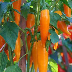 Bulgarian-Carrot