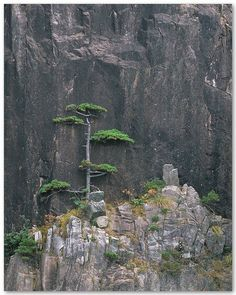 """"""" Huangshan Pine against Rocky Cliffs, by Leping Zha """""""
