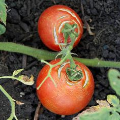 Organic Vegetable Gardening Organic gardening tip. Would you enjoy creating your own personal organic vegetable garden? Here are a few earth-friendly gardening tips that should help you in the correct direction. Tips For Growing Tomatoes, Growing Tomato Plants, Tomato Seedlings, Growing Tomatoes In Containers, Growing Vegetables, Grow Tomatoes, Baby Tomatoes, Dried Tomatoes, Cherry Tomatoes