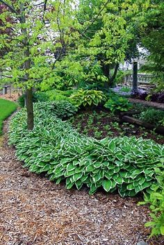 Hosta backyard idea - fashion culture I have a pathway with Hosta like this that runs 20+ feet. I often get comments on it. It looks great.