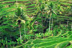 Bali rice paddies....went to the World Heritage designated paddy.  Incredible.