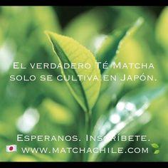 Entra a nuestra página web para saber más sobre el Té Matcha   Inscríbete en www.matchachile.com  #Japanesematcha #tips #matcha