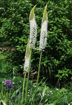 Eremurus himalaicus, white flowers, 2m ; the earliest to flower : flowering begins late spring, continues early summer, -20°C (but needs well drained soil ; young spring foliage more resistant to frost than isabellinus). White Flowers, Perennials, Garden, Garten, Gardens, Perennial, Tuin, Yard