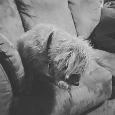 End of #Sundayfunday got me like one of those infomercials where life is horrible and in black and white. #dog #dogsofinstagram #cute #nature #petstagram #dogstagram #bestwoof #weeklyfluff #love #instadog #pet #instadaily #animals #dogoftheday #doglover #petsagram #instagramdogs #atx #instagood #dogs_of_instagram #puppy #austin #mydogiscutest #barkhappy #caninesofaustin #dogsof512 #austindogs #oriongram #terriersofinstagram by orionchai