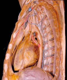 From the tiniest veins, arteries and nerves to serial cross-sections of the spinal cord, these incredibly detailed dissections show and label most every part of the human body Meet the Basset Collection. Gross Anatomy, Human Anatomy, Human Dna, Human Body, Cna Nurse, Nurses, Medical Anatomy, Respiratory System, Circulatory System