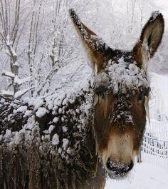 L'anesse du Parc , durant les grands froids de début Janvier.!!!!