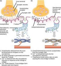 A complex question on muscle contraction?