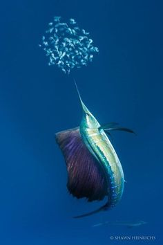 Sailfish grow quickly, reaching 1.2–1.5 m (3 ft 11 in–4 ft 11 in) in length in a single year, and feed on the surface or at middle depths on smaller pelagic forage fish and squid. Individuals have been clocked at speeds up to 110 km/h (68 mph), which is one of the highest speeds reliably reported in any water organism. Generally, sailfish do not grow to more than 3 m (9.8 ft) in length via Ocean Defender - Hawaii FB Shawn Heinrichs Photographer.