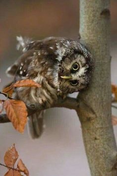 Owl are ewe? I koo koo Animals And Pets, Baby Animals, Cute Animals, Beautiful Owl, Animals Beautiful, Owl Bird, Pet Birds, Rapace Diurne, Owl Pictures