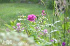 Eine wunderschöne Rose im Juli..