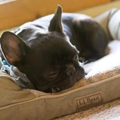 Ferdinand - the French Bulldog - loves his L.L.Bean dog bed. (Photo via a Facebook fan) #buldog