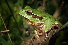 Tree-Frog, Frog, Nature, Macro, Green