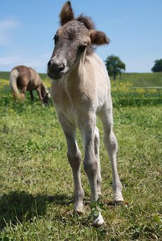 foal... Icelandic horse by HervelineG, via Flickr