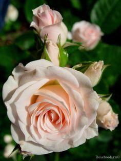 ~Spray rose 'Lydia', Interplant Netherlands, 1990~