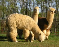 From Informedfarmers.com. Ways to expand an alpaca fleece farm. Sounds great!
