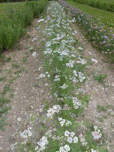 CORIANDRE – Coriandrum sativum – Cilantro – Coriandre – Coriander