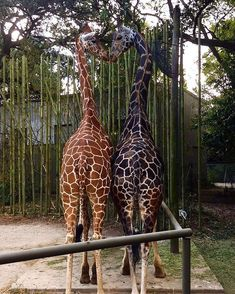 there's a lot of negativity going around right now and the world is pretty scary so everyone please enjoy this picture of two giraffes I work with who are best friends