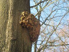 In de bossen rond Staverden vind je veel oude bomen met grillige en knoestige vormen.