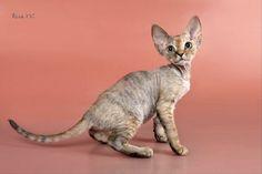 Breeding Healthy, Happy, Quality Sphynx and Devon Rex kittens. Gatos Devon Rex, Devon Rex Cats, Cornish Rex Cat, Gatos Cool, Sphinx Cat, Cat Sleeping, Pretty Cats, Pretty Kitty, Warrior Cats
