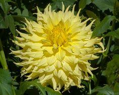 Wyn's Neon Dream (#3349) Classification: Dekorative Dahlien Color: gelb Height: circa 140 cm Blossom size: 20 cm - 25 cm