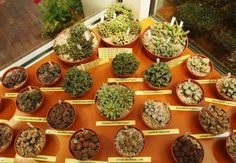 Zioła od kuchni wzięły udział w wystawie kaktusów i innych sukulentów...