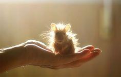 Angelic Hamster