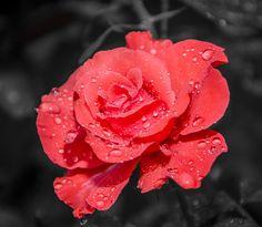 Rose drops by Dominique Toussaint on Drop, Nature, Flowers, Plants, Naturaleza, Plant, Nature Illustration, Royal Icing Flowers, Off Grid