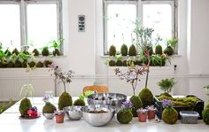 A variety of kokedamas on a table and window sills