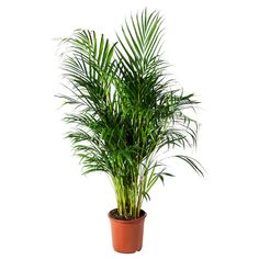 IKEA - DYPSIS LUTESCENS, Potted plant, Areca palm, Decorate your home with plants combined with a plant pot to suit your style. Native to Madagascar. Sensitive to draught. Ikea Plants, Potted Plants, Cactus Plants, Ficus Microcarpa Ginseng, Indoor Plants Online, Luz Solar, Outside Plants, Clusia, Lights