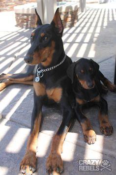 The doberman gang. Beautiful beasts!!