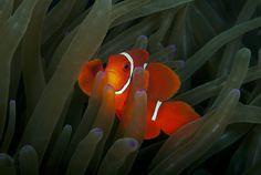Spinecheek Anemonefish by Alastair Pollock