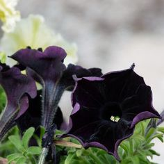 Black cat petunia. Never seen this before but love the look of the flower.