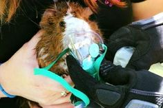 Guinea pig rescued from house fire treated with tiny oxygen mask