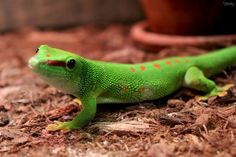 Day Gecko * Photo by Cindi Jacoby