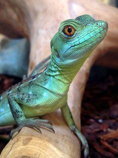A young green basilisk at Northampton Reptile Centre Reptiles And Amphibians, Les Reptiles, Cute Reptiles, Mammals, Reptiles Preschool, Beautiful Creatures, Animals Beautiful, Cute Animals, Green Animals